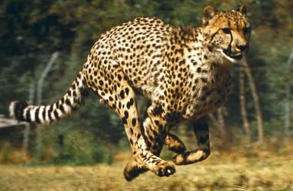 Cheetah Running Wallpapers
