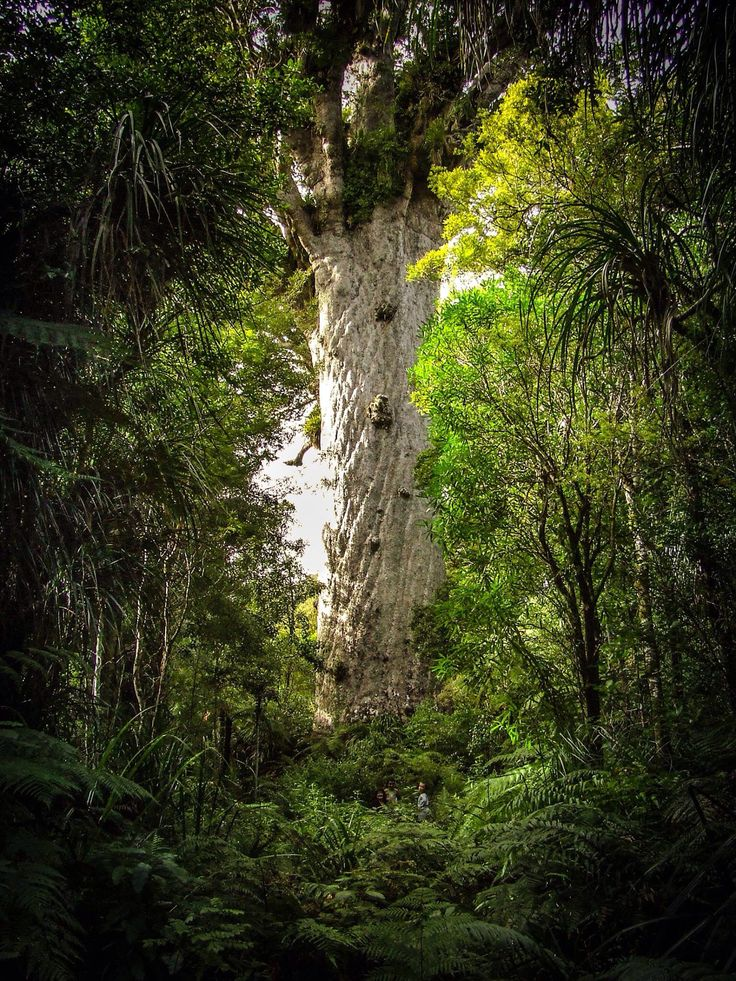 Tane Mahuta - Lord of the Forest, Northland, New Zealand.