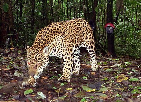 amazon jungle this spotted cat most closely resembles