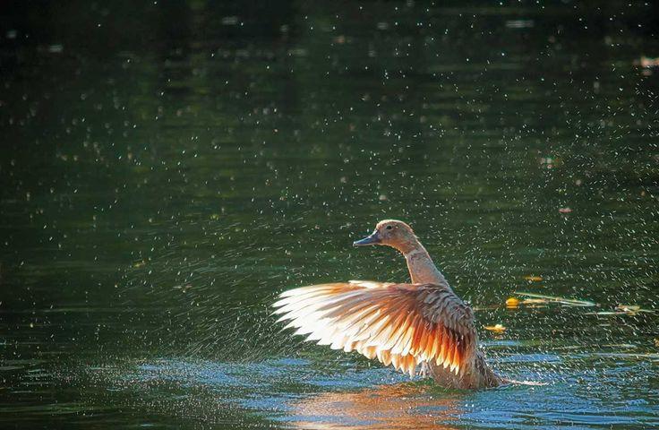 Ente auf der Donau