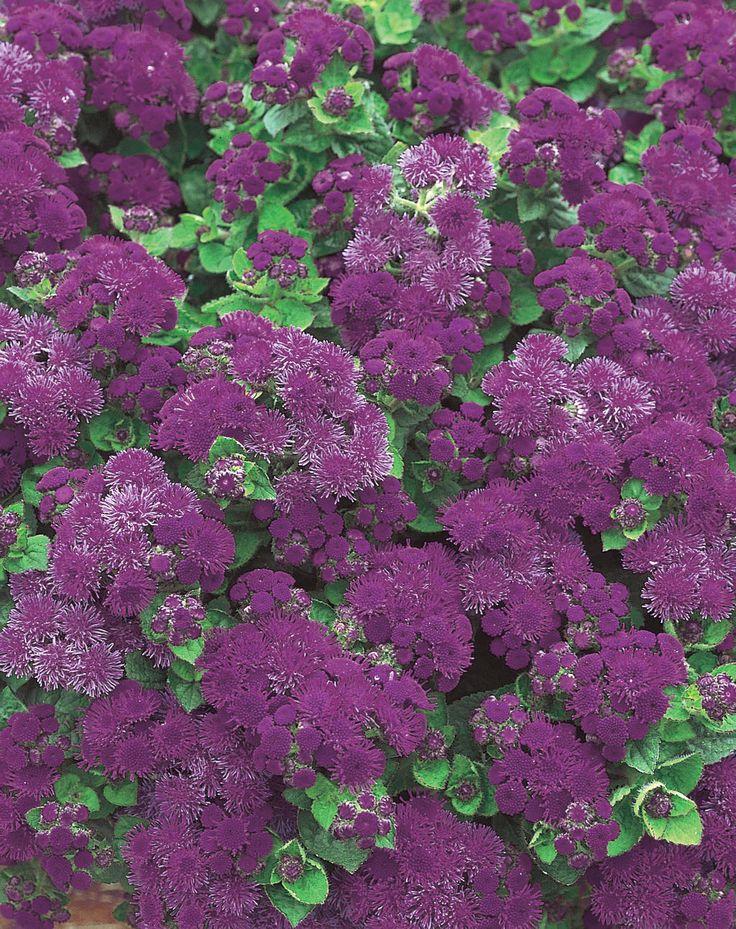 Artist® Purple - Flossflower - Ageratum hybrid   Proven Winners