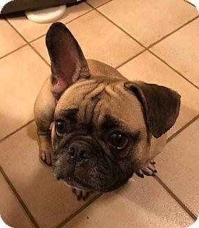 Scottsdale, AZ - French Bulldog. Meet Lulu, a dog for adoption. http://www.adoptapet.com/pet/18234818-scottsdale-arizona-french-bulldog