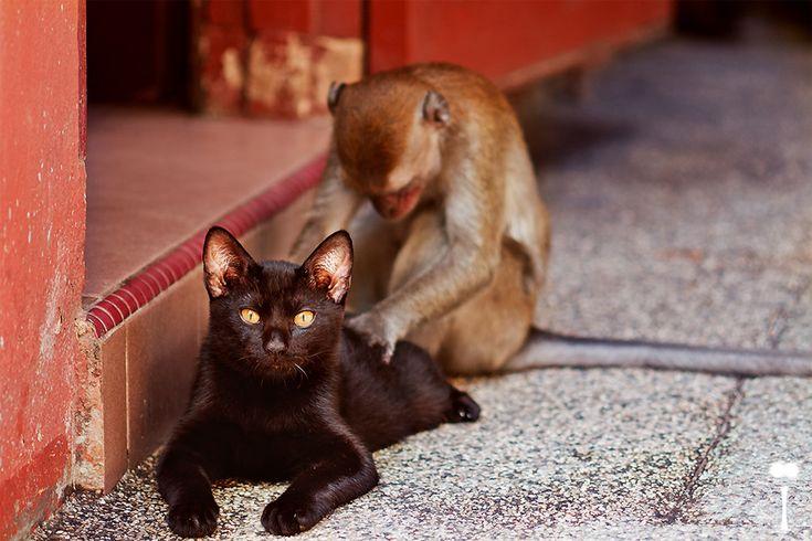 Monkey Gives Cat A Back Massage By Romain Mattei