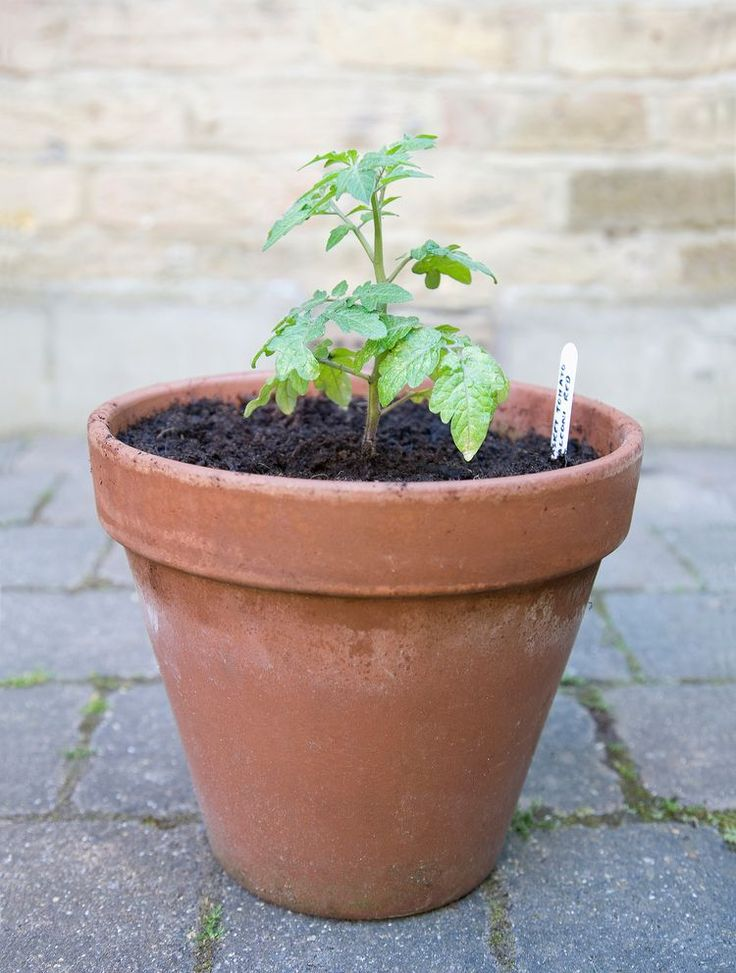 5 Tips for Growing Awesome Tomatoes in Containers