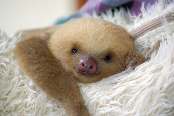 baby sloth- i love their little piggy noses!