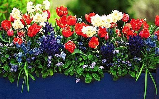 Rychlení okrasných cibulovin v nádobách: kompletní návod- Okrasná zahrada