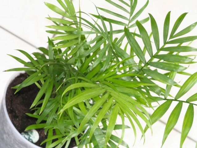 Conseils pour la culture et l'entretien du chamaedorea, un palmier d'intérieur.
