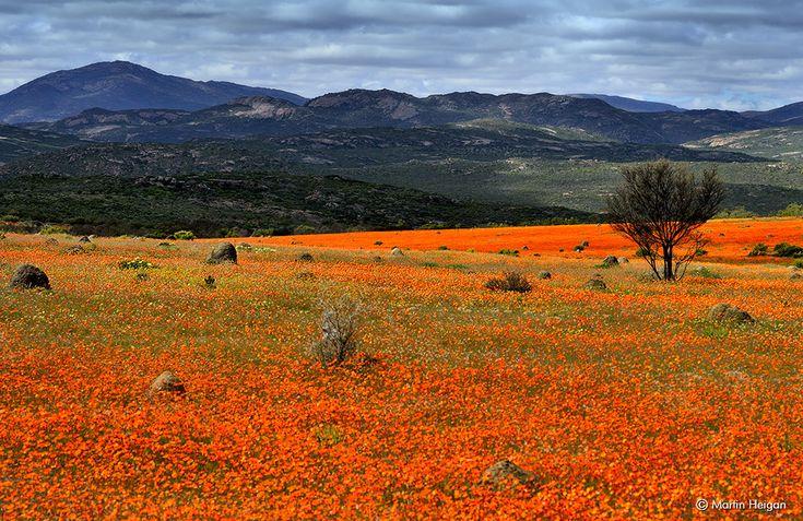 Namaqualand wildflower carpet | Flickr - Photo Sharing!