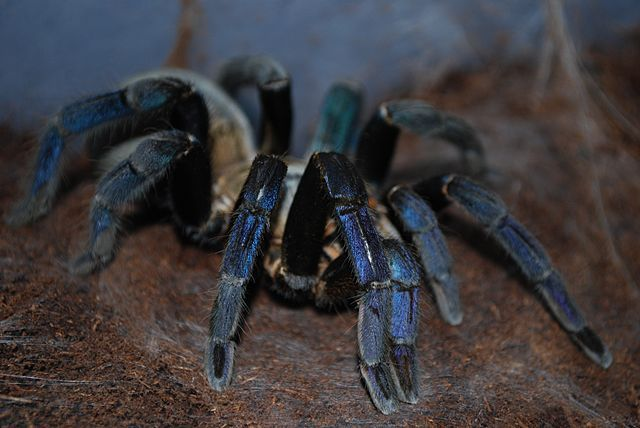 Cobalt Blue Tarantulas for sale at Voracious Reptiles