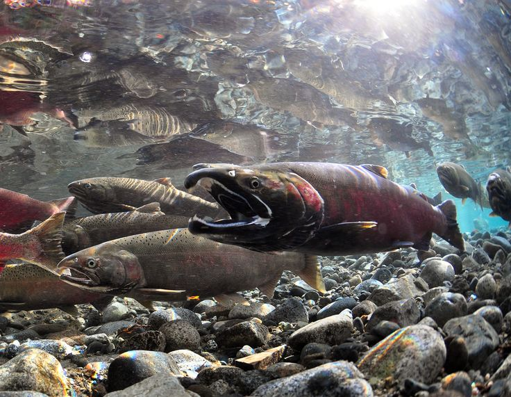 Underwater salmon underwater trout stream pinterest for One fish two fish red fish blue fish
