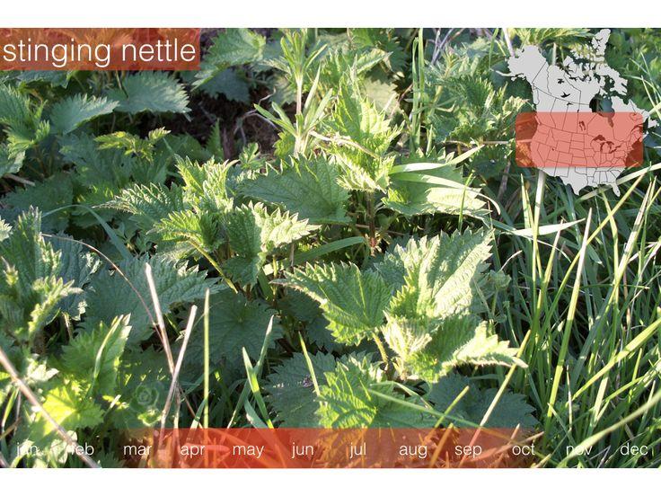 www.plantmob.com Stinging Nettle