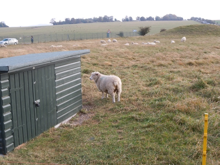 Sheep of Stonehenge/ストーンヘンジの羊