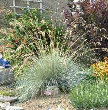 Ornamental grass identification blue oat grass yahoo for Ornamental oat grass varieties