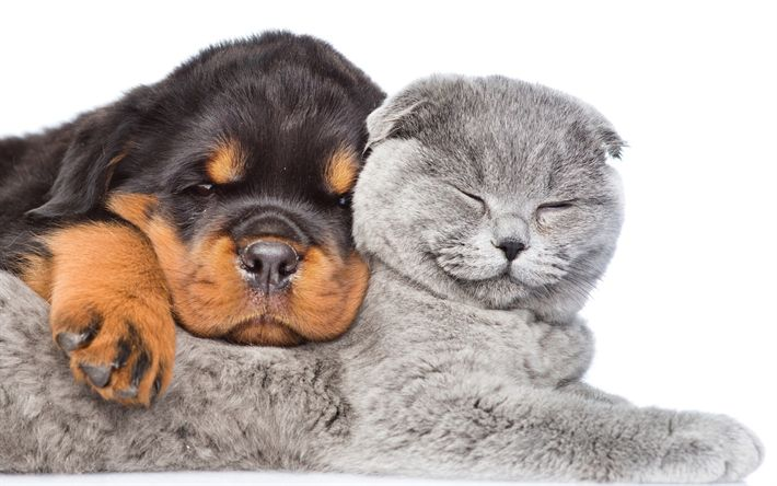 Download wallpapers Rottweiler, British Shorthair, 4k, puppy and kitten, friendship, gray cat, pets, dogs, cats, British Shorthair Cat