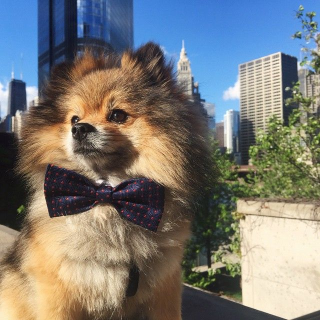 Dybo saying bye at @HyattChicago. Photo courtesy of @roxzylok. #PetsofHyatt