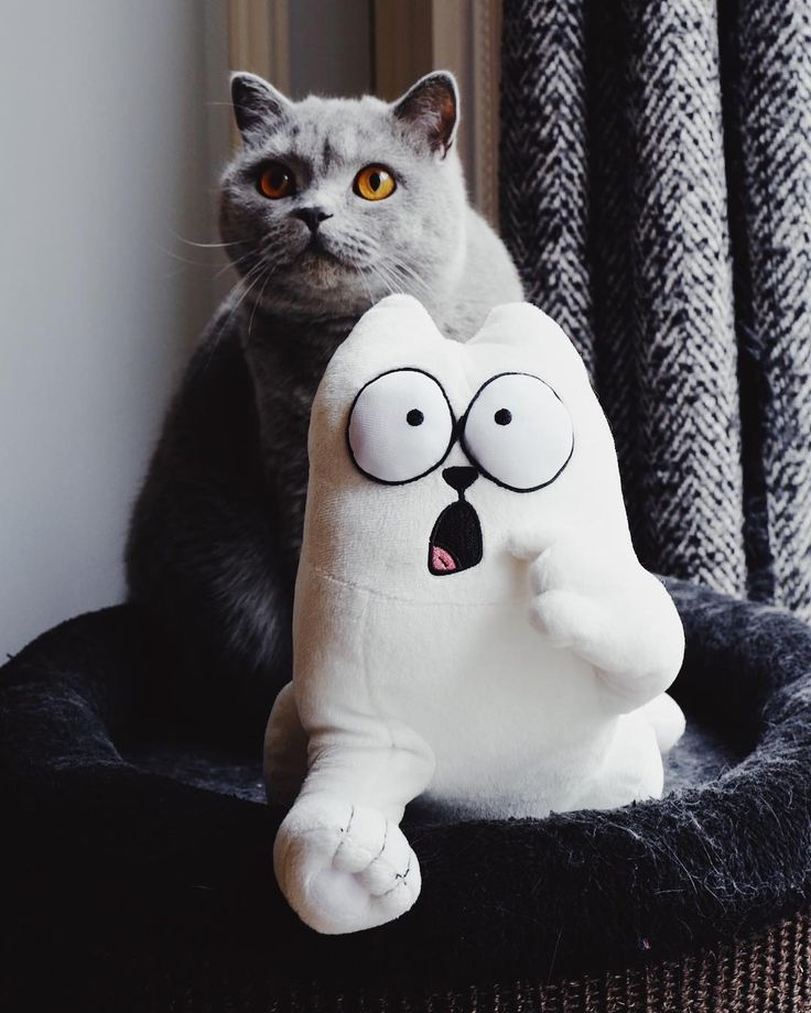 CLICK HERE FOR MORE IMAGES - ONLY MILK instagram and YouTube channel with beautiful Britsih cat #cat #cutecat #chat #gato #britishshorthair