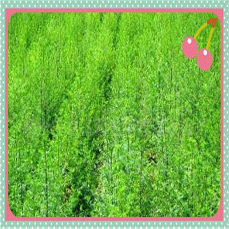 Bulk Supply ISO certified artemisia annua artemisia carvifolia 95% white crystalline powder 500g