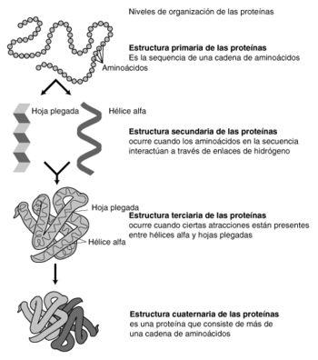 Estructura de las proteínas - Wikipedia, la enciclopedia libre
