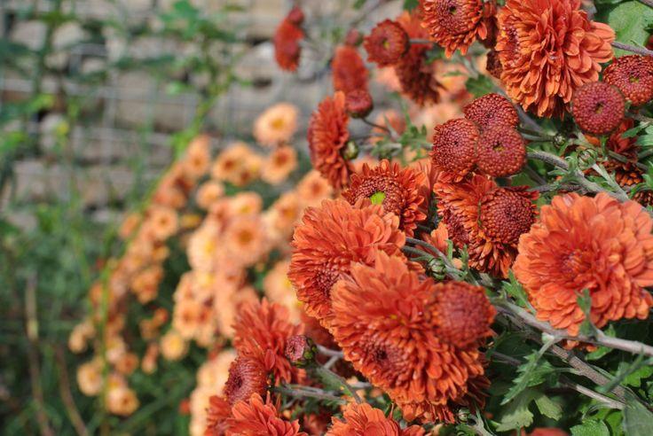 "Chrysanthemum Indicum ""Rehauge"" & ""Herbstbrokat"""