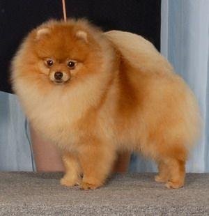 El Pomerano o Spitz enano El Pomerano es una versión diminuta de los Spitz y como todos ellos tiene su origen en los perros del Ártico y Escandinavia. En las granjas de Alemania y Holanda, el proceso de selección y el cruce con razas pequeñas dio lugar al Spitz enano, que en Estados Unidos e Inglaterra recibió el nombre de Pomerano, en relación con la región alemana de Pomerania. Su fama como perro de compañía y suntuoso proviene de la corte inglesa en los tiempos de la reina Victoria.
