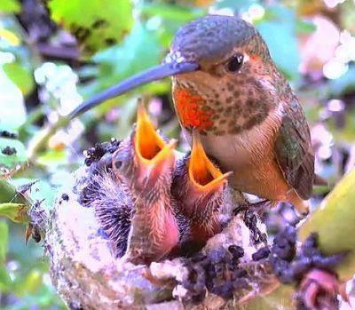 hummingbird and babies