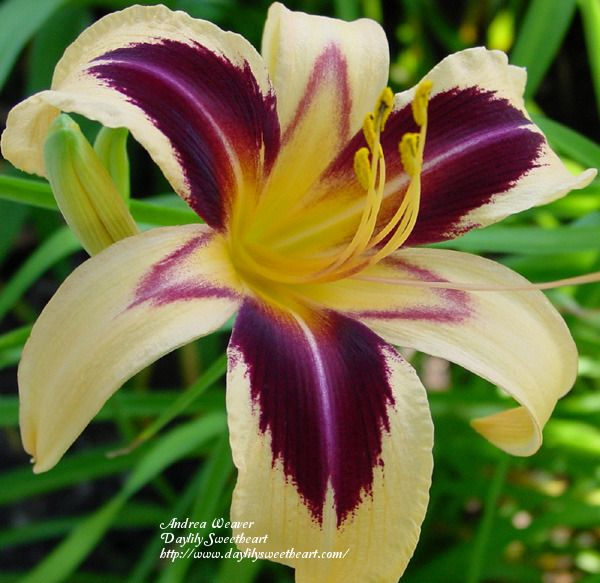 Daylily (Hemerocallis) 'Cleopatra' (I do love the colorful daylilies...)