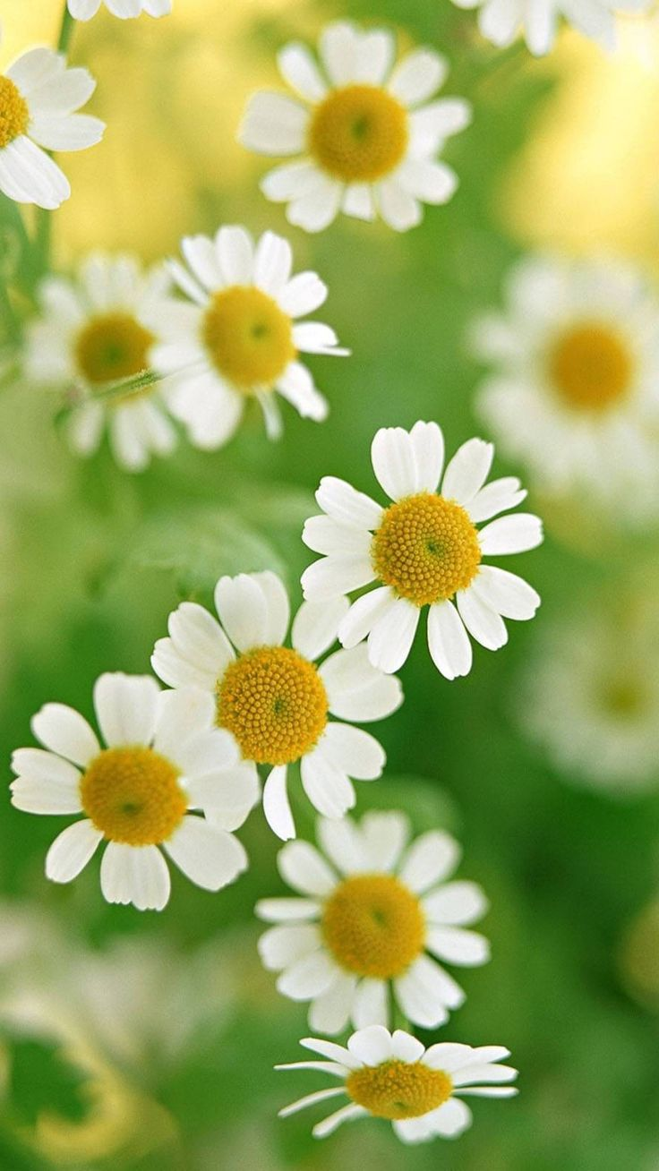 Nature White Daisy Flower Iphone 6 Plus Wallpaper