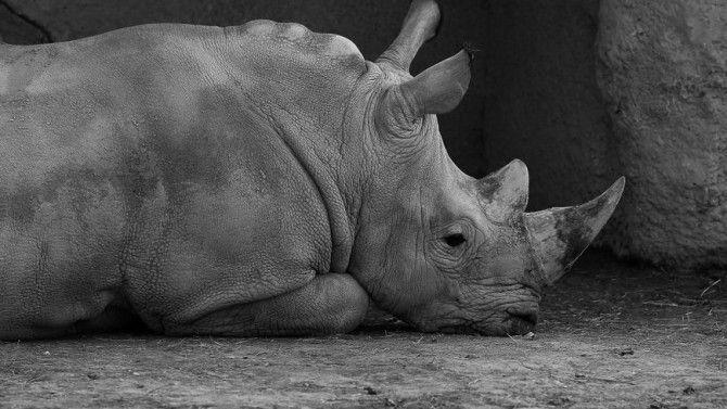 Braconnage inédit dans un zoo européen : Un rhinocéros tué et sa corne sciée à Thoiry