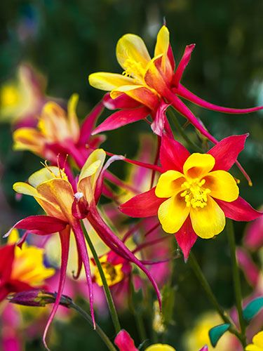 Columbine Genus: Aquilegia spp. Zones: 3-9 Bloom time: May; then six weeks later. To prune: Cut the stems all the way back to the foliage. Good to know: After the second bloom, leave the blossoms on the plant to reseed.