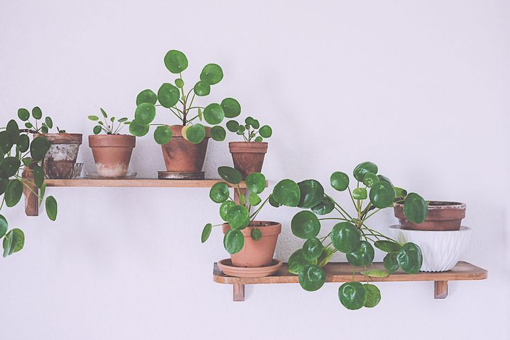 197 Best Images About Pannenkoekenplant Pilea