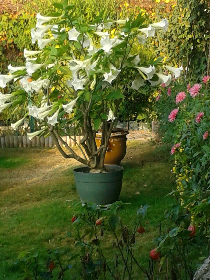 Brugmansias blanc Planter des fleurs, Fleurs, Plante