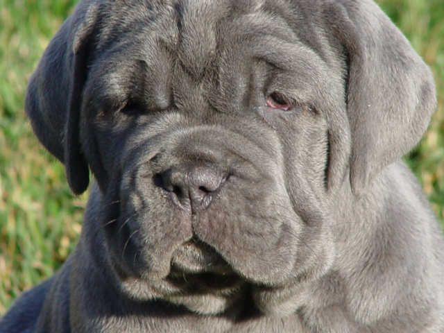 Who could resist that face? Neopolitan Mastiff puppy
