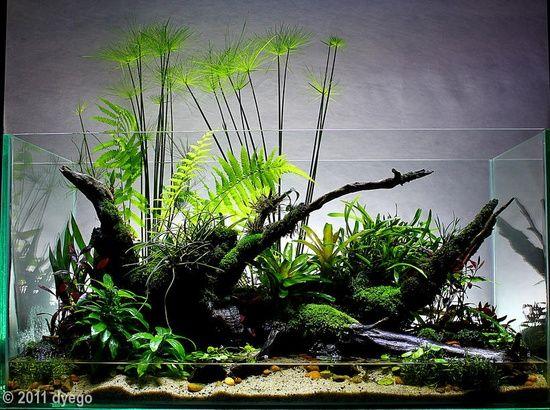 """ronbeckdesigns:  2011 AGA Aquascaping Contest - Entry #384 - """"Cyperus home"""" Dyego Ramon de Souza Doim, Ponta Grossa Parana Brasil"""