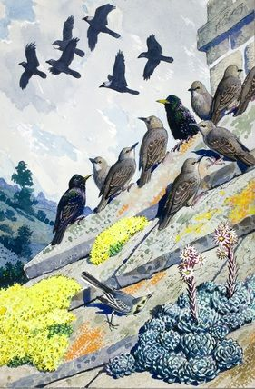 Starlings on a stone roof. C. F. Tunnicliffe