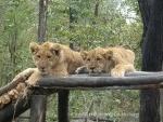 Lion cubs, Pamuzinda, Zimbabwe