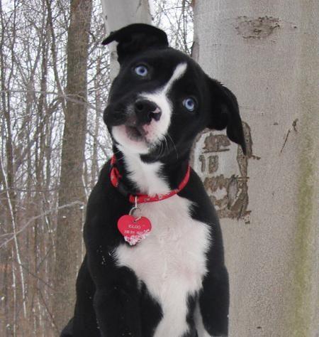American Pit Bull Terrier | Igloo_American_Pit_Bull_Terrier_Mix_01.jpg_w450.jpg