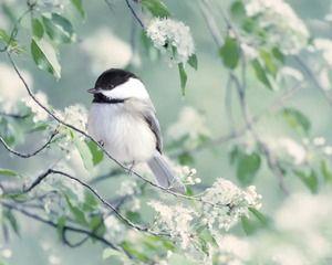 chickadee in spring