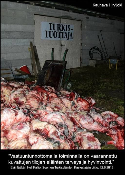 Kuva on suomalaiselta turkistarhalta vuodelta 2012. Tältä näyttää laillisen elinkeinon lopputuote. This picture is from a Finnish fur farm from 2012. This is how the end product of a legal fur business looks like.