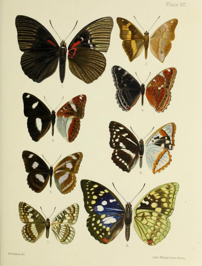 plates - Butterflies from China, Japan, and Corea. - Biodiversity Heritage Library. Image from the most-viewed Flickr album from Harvard University, Museum of Comparative Zoology, Ernst Mayr Library. http://biodiversitylibrary.org/page/45490862. #BHLat10
