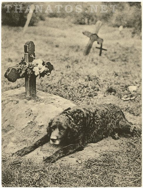 Dog resting at his master's grave, 1912.