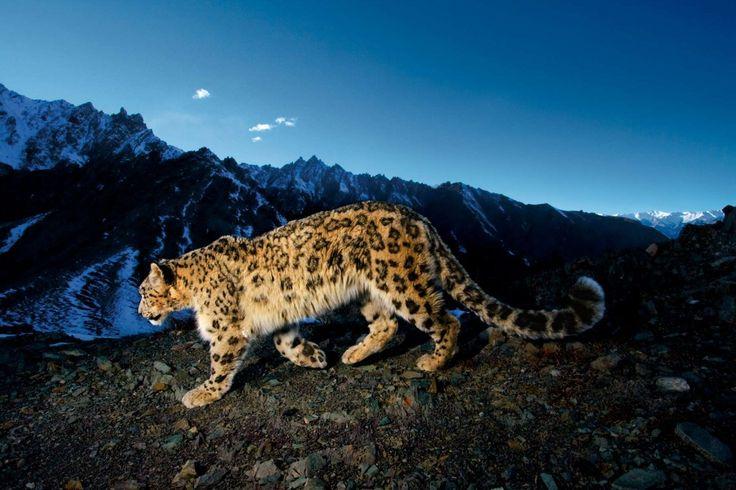 Cheetah at night ~  Steve Winter