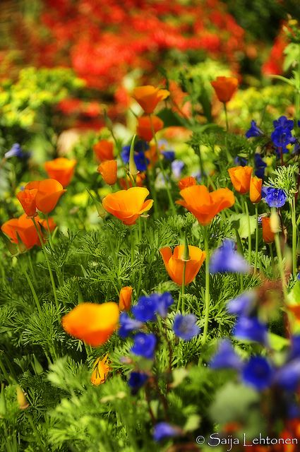 90 Best Images About California Poppies On Pinterest