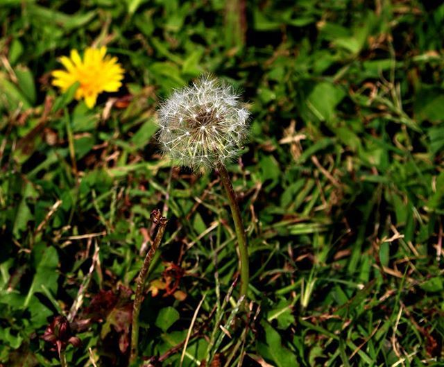 WEBSTA @ sofil88 - Make a wish......#makeawish #dandelion #photography #canoneos100d #canon #canoneos #nature #green #white #yellow #colors #wish #like4like #likeforlike #inspiration #peace #livelife #behappy #believe #dentedeleao #free #freedom #optimism #faith #light #positivelife #bepositive