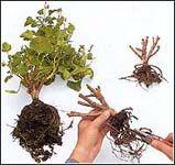 Хранение пеларгоний (гераней) зимой | Герань (Pelargonium)