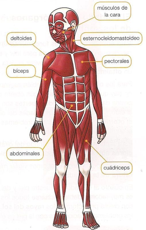 Sistema Muscular Para Cuarto Grado Primaria Buscar Con Google Musculos Del Cuerpo Humano Sistemas Del Cuerpo Humano Musculos Del Cuerpo