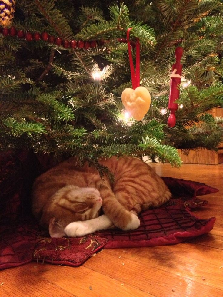 My kitty likes to sleep under the Christmas tree
