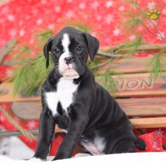 Boxer Energetic And Funny Boxer Dogs Brindle Boxer Puppy Boxer Dog Puppy