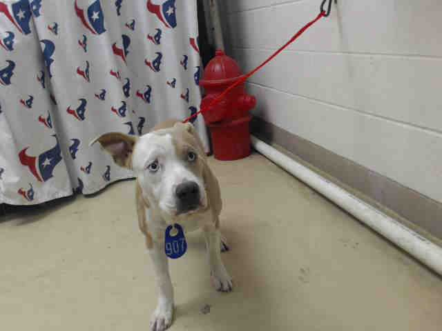 SMURFF - ID#A468759 - URGENT - Harris County Animal Shelter in Houston, Texas - ADOPT OR FOSTER - 1 year old Male Pit Bull Terrier mix - at the shelter since Sep 21, 2016.