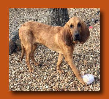 Bloodhound dog for Adoption in Wakefield, RI. ADN-754563 on PuppyFinder.com Gender: Male. Age: Young
