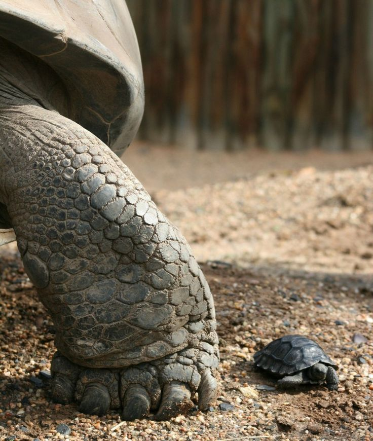 Mother and DaughterMothers, 10 Years, Baby Tortoies, Galapagos Islands, Zoos, Islands Vacations, Vacations Travel, Baby Turtles, Animal